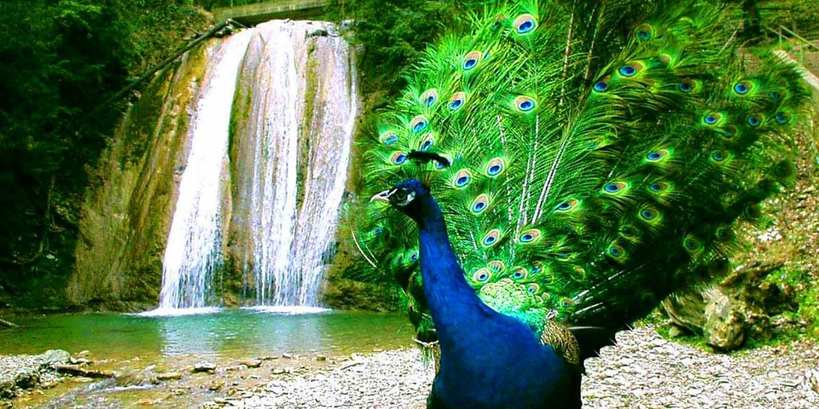 ЗЗ водопада павлин